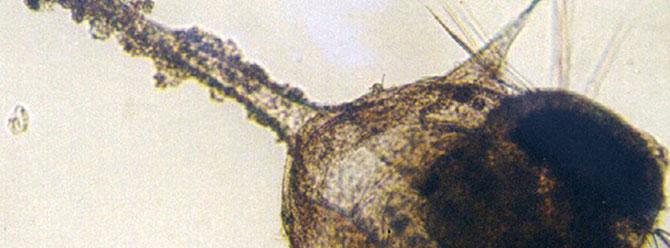 Schmutzansammlungen wie hier auf der Larve können deren Atmung beeinträchtigen oder die Häutung behindern.