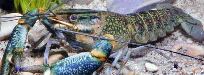 Die Weißfleckenkrankheit kann auch sehr leicht auf Flusskrebse übertragen werden. Foto: Cris Lukhaup