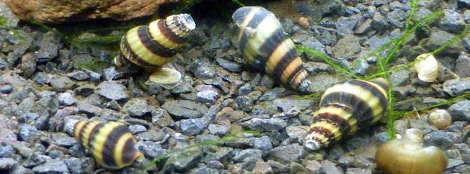 Raubturmdeckelschnecken, Anentome helene, im Aquarium. Foto: Holger Haake