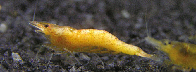 Muskelnekrose bei einer Caridina propinqua. Garnelen mit solch starkem Befall sind meist nicht mehr zu retten. Foto: Michael Wolfinger