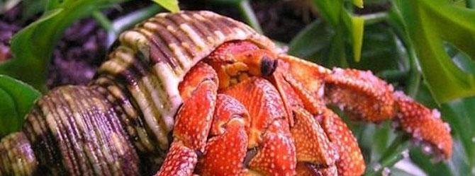 Erdbeer Landeinsiedlerkrebse sind wunderschöne und faszinierende Vertreter Ihrer Art. Foto: Michael Wolfinger