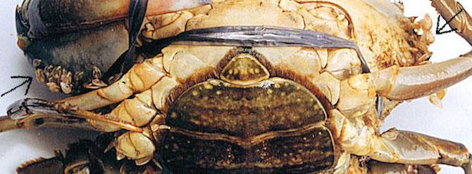 Eine mit Rankenfußkrebsen befallene Krabbe. Zu finden Sind Parasiten rund um den Panzer am Rande der Atem- öffnung, an der Basis der Chelipeden, und auf den zweiten und dritten Maxillipeden. Foto: Dr. Celia R. Lavilla-Pitogo