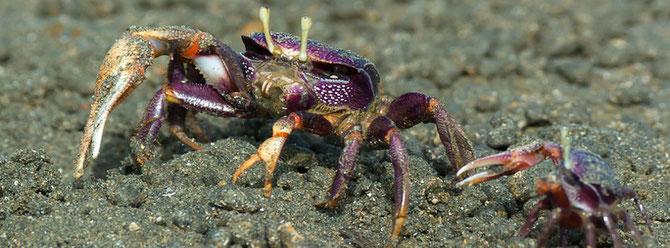 Winkerkrabben Männchen bekämpfen, um weibliche Nachbarn zu schützen, nur Angreifer die kleiner sind als sie.