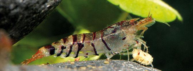 """Caridina cf. cantonensis """"Tiger"""" bei der Futteraufnahme eines Garnelensticks. Foto: Heiko Blessin, JBL"""