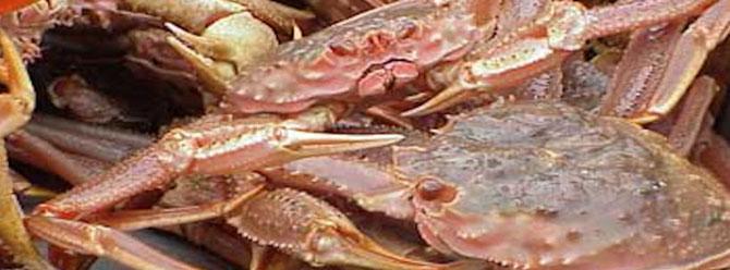 Normalerweise ist die Färbung der Chionoecetes bairdi Krabbe bräunlich. Im Endstadium der bitterkrabben Krankheit färbt sichder Panzer an verscheidenen Stellen rosa. Foto: Noaa Fisheries