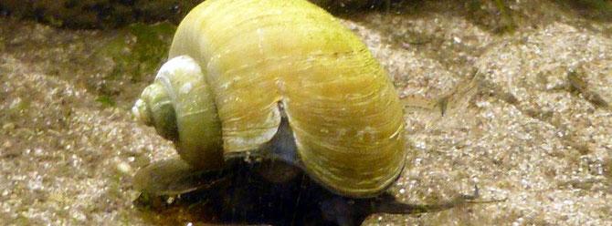 Hinter dem Riss im Gehäuse kann man, den intakten Mantel mit der verbundenen Schale erkennen. Foto: Holger Haake