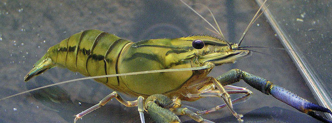 Macrobrachium vollenhovenii ist eigentlich eine Garnel aus der Aquakultur, wird jedoch auch oft in Aquarien gehalten. Foro: Michael Wolfinger