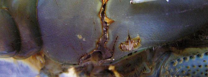 Bei großen Verletzungen oder Rissen am Panzer ist das Überleben der Garnele stark bedroht, da nicht nur Körper-flüssigkeit nach außen gelangt sondern auch im Wasser vorhandene Bakterien eindringen können. Foto: M. Wolfinger
