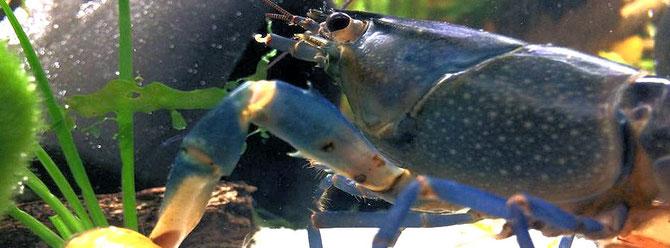Kleine Verletzungen am Panzer oder den Schreitbeinen sind noch keine Krankheit. Foto: R. Paltram www.porkpie.at