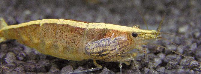 Bei großen Garnelen lebt die Garnelenassel oft als blutsaugender Parasit in oder auf den Kiemen der Tiere. Foto: Michael Wolfinger
