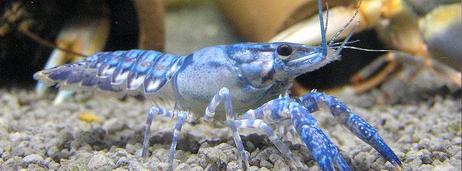 Amerikanische Flusskrebse wie dieser Procambarus speculiver sind oft überträger des Erregers der Krebspest. Ohne dass sie selber erkranken infizieren Sie andere Krebse wei z.B unseren heimischen Edelkrebs Foto:Michael Wolfinger