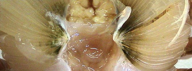 Grüne oder schwarze Ablagerungen in den Kiemen sind eher Symptome als eine genaue Krankheitsdiagnose.  Foto: Dr. Celia R. Lavilla-Pitogo