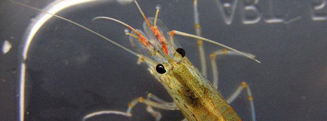 Ist die Infektion zu weit fortgeschritten und die Antennen sind bereits stark befallen, dann ist eine Heilung kaum noch möglich. Foto: Michael Wolfinger