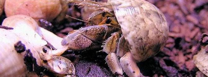 Einsiedlerkrebse kämpfen und stehlen manchmal ein bereits bezogenes Gehäuse. Foto: Michael Wolfinger