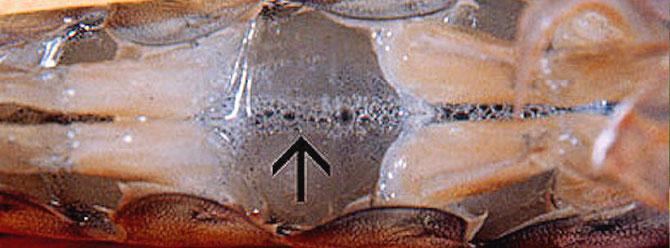 Kleine Gasblasenansammlung im Bereich der Schwimmbeinpaare sind Anzeichen für Sauerstoffübersättigung. Foto: Dr. Donald V. Lightner
