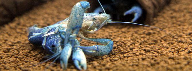 Flusskrebse packen Beutetiere mit ihren großen Scheren oder nutzen diese zur Verteidigung. Foto: Roland Emmenlauer
