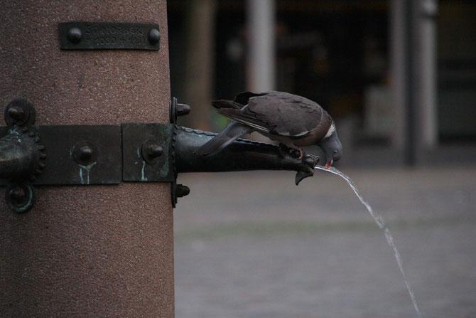 Taube beim Trinken