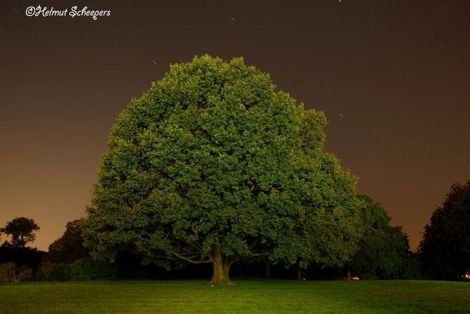 Baum an der Burg Linn