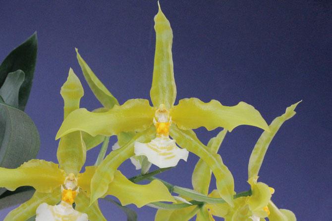 Odontglossum grande fma.flava