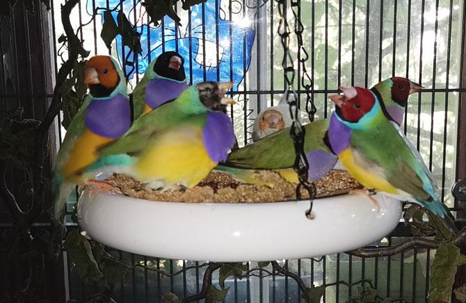 Gouldamadinen beim fressen, vom Pommerle