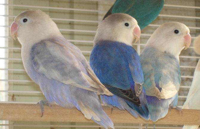 Agapornis Fischeri pastel-violet, kobaltblau, pastel-blau
