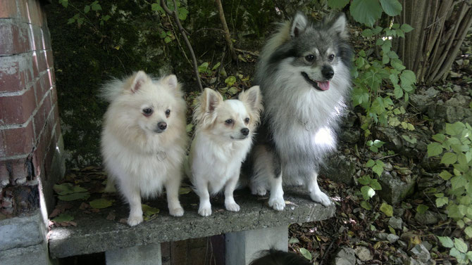 """Kleinspitz """"Purzel"""" Xia von der Arnold's Eiche, Chihuahua Gigi und Mittelspitz Winston vom Pommerle"""