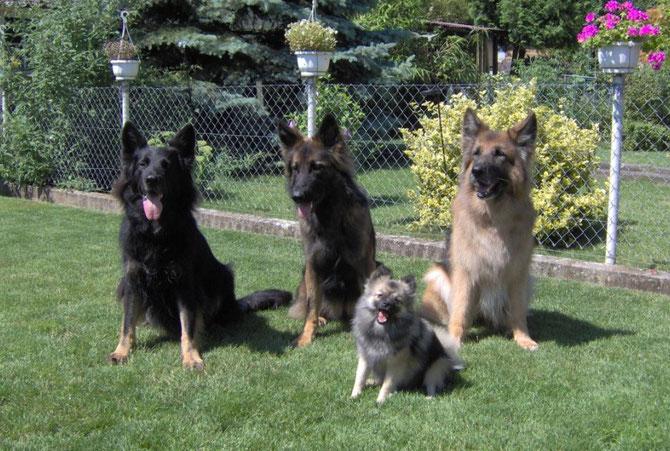 Mittelspitz Toxic und ihr Schäferhunderudel