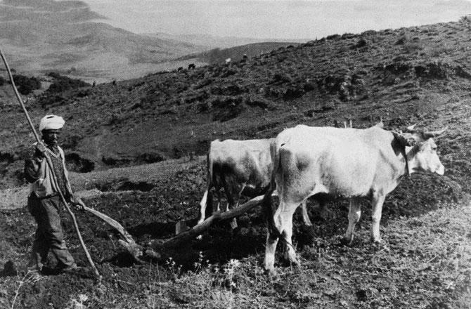 Paysans Arabe labourant avec une charrue en bois