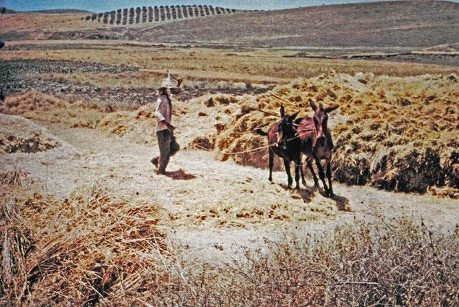Moins moderne, venus d'un autre âge, deux Ânes piétinent la récolte pour la battre et récupérer le grain