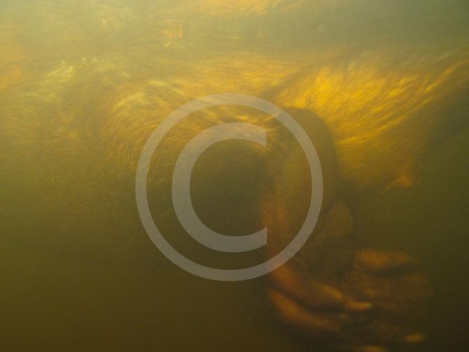 Biber, schwimmend, unter Wasser, Füße, Schwimmhäute, Paddel, Kloake