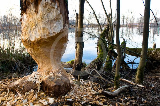 Biber, Winter, Nahrungsfloß, sanduhrförmig, Bäume fällen