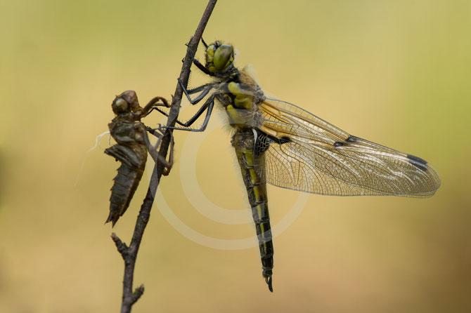 Biber, Biberteich, Naturschutz, Naturschützer, Insekten, Libellen, Käfer