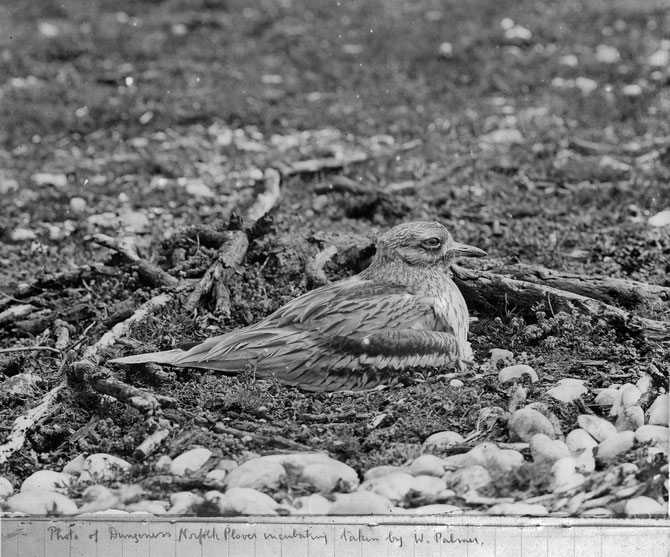 Stone curlew (Norfolk plover) at Dungeness in 1915, photograph taken by W. Palmer, a friend of Collingwood Ingram.