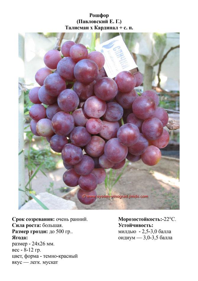 Виноград рошфор описание сорта фото отзывы