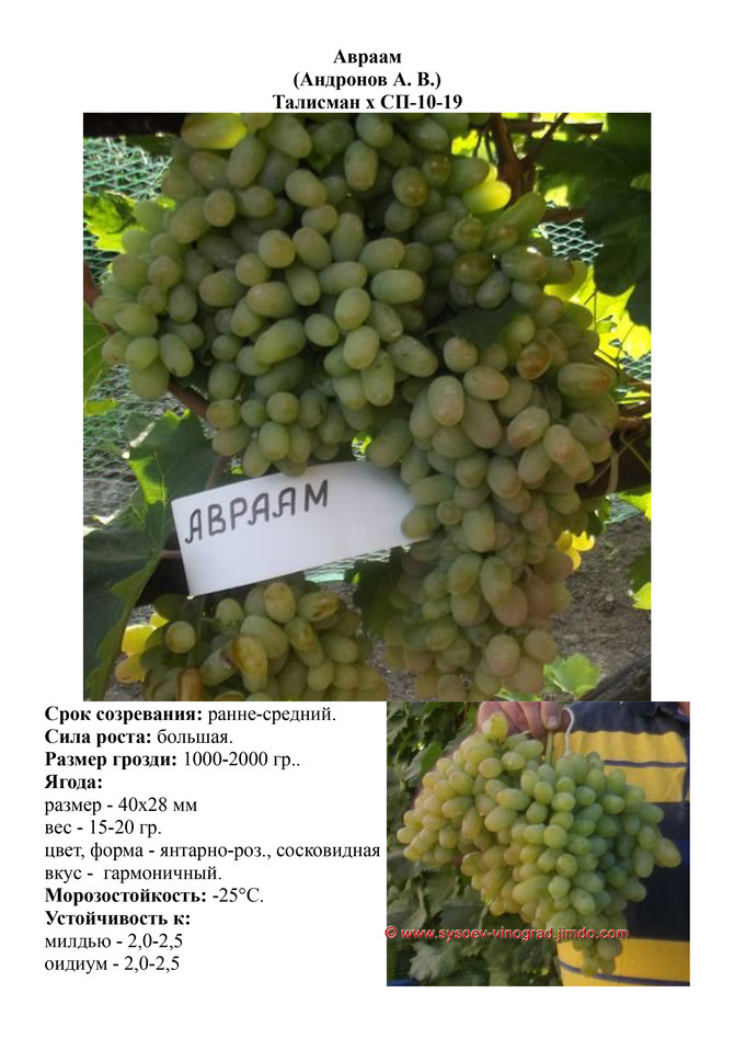 Виноград авраам фото