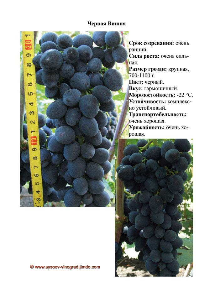 виноград вишенка описание сорта фото