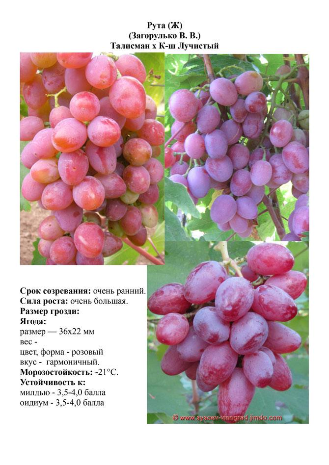 как оказалось, фото и описание винограда рута это