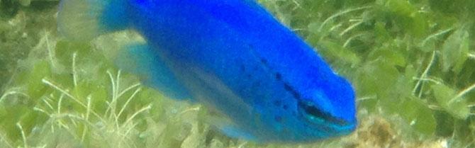 コバルトスズメ