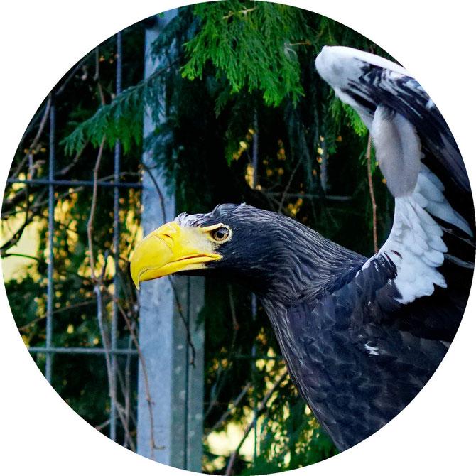 Portrait eines Riesenseeadlers im Zoo Gnadenhof in Eichberg
