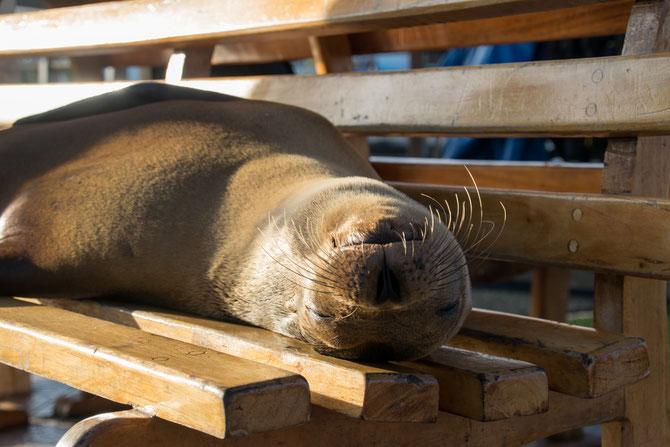 Unsere erste Bekanntschaft mit einem Galapagos-Seelöwen
