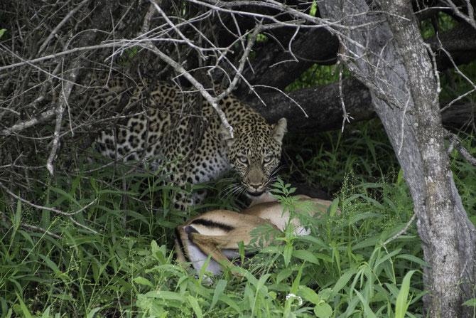 Der Leopard kurz vor seinem Neujahrsmahl