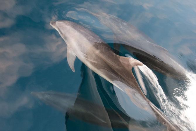"""Delfine direkt vor dem Bug der """"Guantanamera"""""""