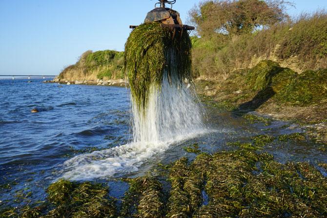 Seegras wird aus der Ostsee gebaggert