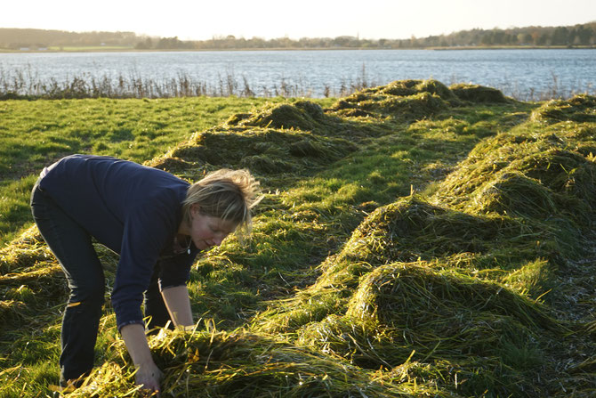 Seegras wird am Ostseeofer auf Wiesen verteilt