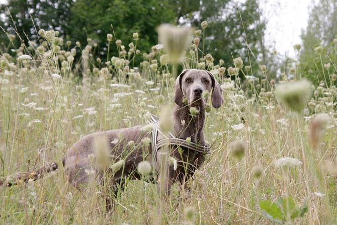 Hundegeschirr mit Seegraspolsterung