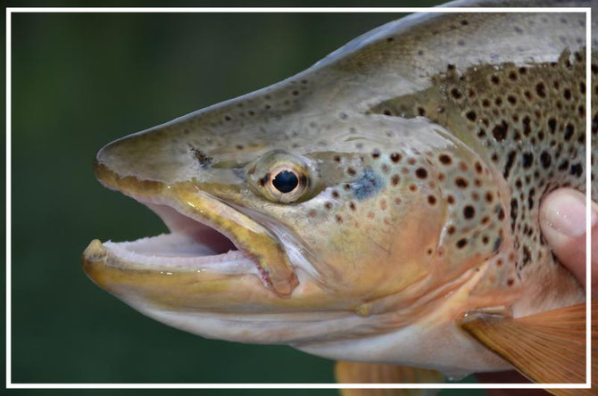 Fly fish Central Patagonia, Argentina, FFTC.club destination, El Encuentro Fly Fishing partnered Carrileufu Lodge, Fly fish freshwater destinations. Wild and Trophy Trout. Brown trout