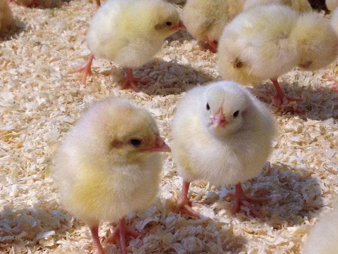 Freilandhaltung-Hähnchen-Küken
