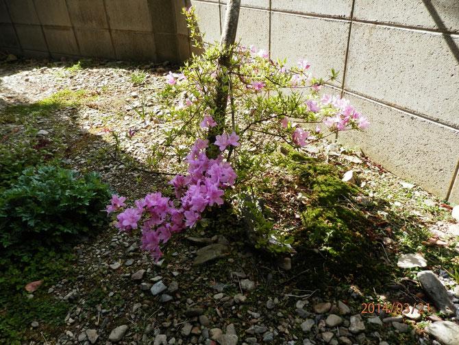 枯れたはずのツツジの根っこに花が咲きました。