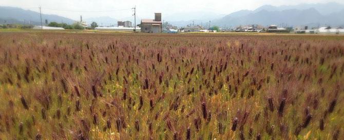 愛媛県東温市もち麦「ダイシモチ」の圃場