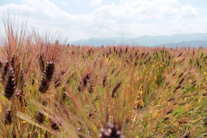 もち麦(ダイシモチ)の圃場 紫色に輝く(愛媛県東温市)